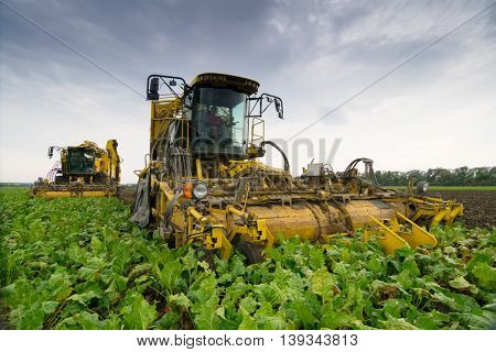 Two combine harvesters harvest of sugar beet at summer evening
