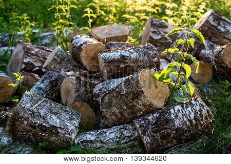Pile of birch wood in green grass