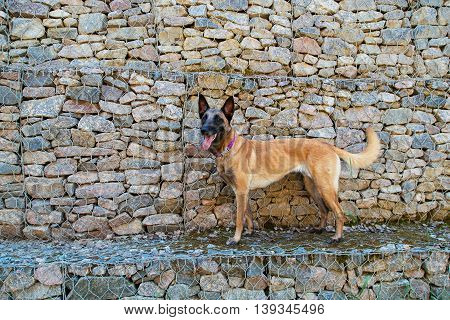 Malinois Belgian Shepherd dog on the background stone wall