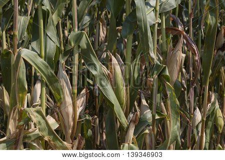 Ripe Cobs Grown In The Field