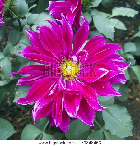 dahlia flowers as a floral background or wallpapers