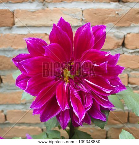 Colorful dahlia flower on the old wall background