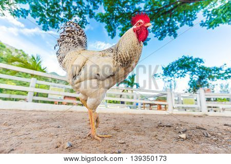 Colorful Giant Rooster On Green Nature