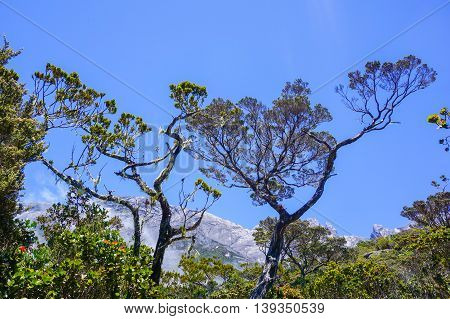 Peaks of Mountain Kinabalu seen through twisted alpine trees growing at high altitude.