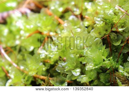 Transparent Leaves Of Rhizomnium Punctatum, Also Called Dotted Thyme-moss