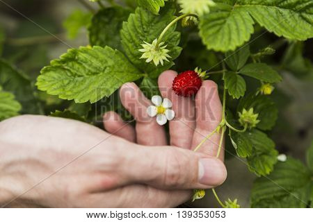 Men hands with strawberries closeup view on a Sunny summer day