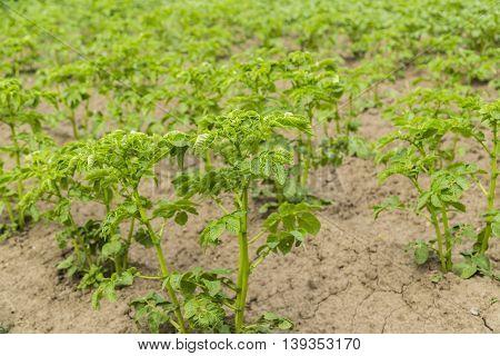 Field of green potato bushes in garden