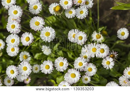 Field of small white Chamomile in the garden
