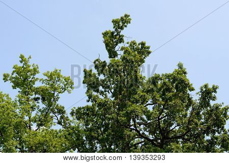 Green crowns of the trees against the sky