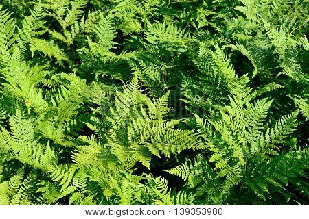 Overgrown fern as a green natural background