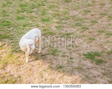 An Asia sheep walk around farm on dry lawn sun light