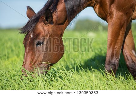 Horse in the summer pasture at hot summer day