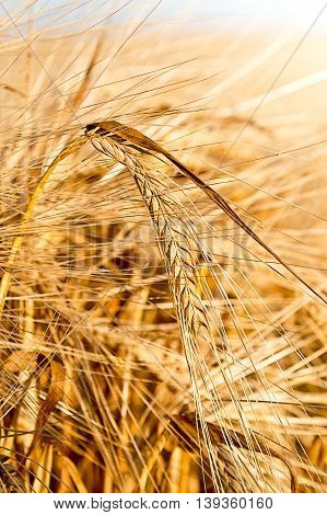 detail of barley in the barley field