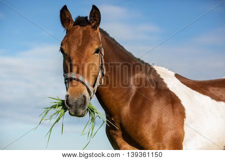 Piebald horse eating grass in the summer pasture