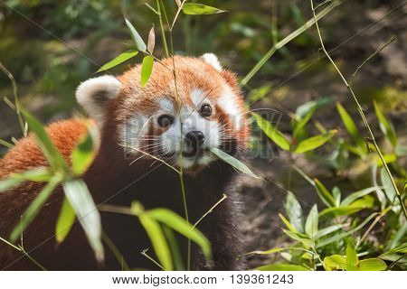 Liitle Small Cute Red Panda Eating Bamboo