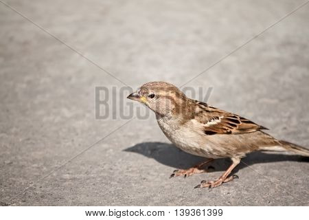 Little sparrow on grey background, close up
