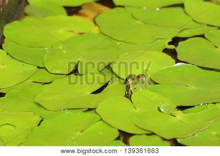 Edible Frog (pelophylax Esculentus) Hiding Under Water Lily Leaves