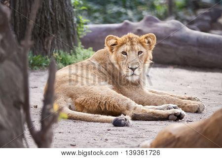 Young male lion resting in jungle, close up