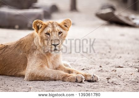 Beautiful female lion lying and resting, close up