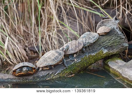 Group Of Turtles Enjoy On Sun