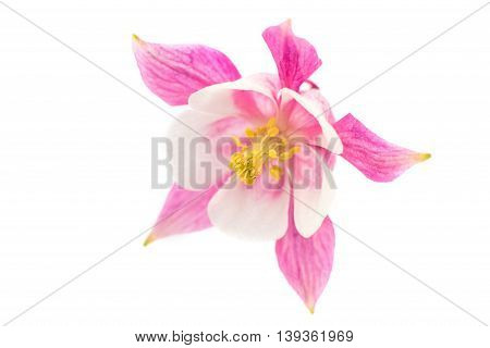 aquilegia flower pink isolated on white background
