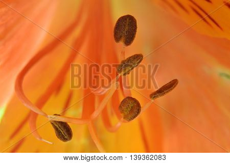Abstraction of close five stamens bloom amid orange color.