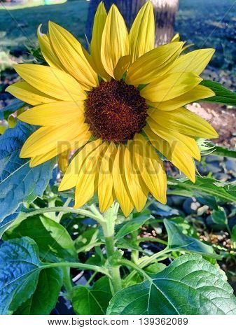 Bright sunflower shines in the garden outside