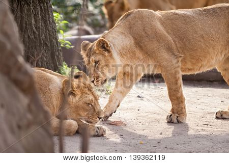 Love Between Two Female Lions