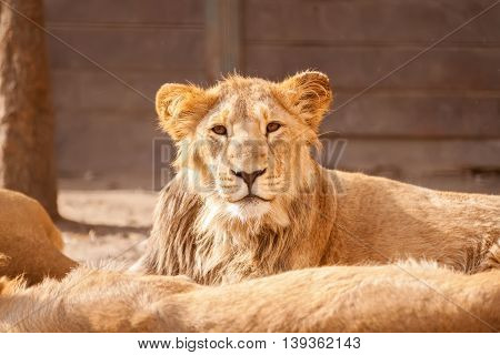 Young Male Lion Resting On Sun