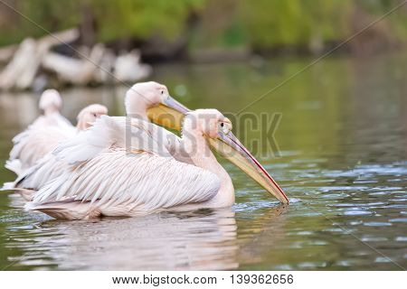 Adorable Group Of Pink Pelicans