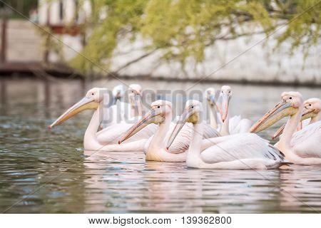 Group of pink pelicans swimming together, close up