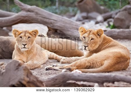 Herd Of Female Lions Resting After Meal