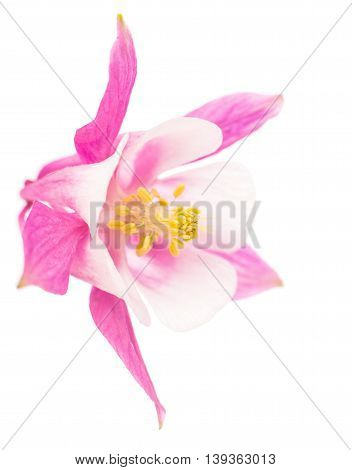 aquilegia pink flower isolated on white background