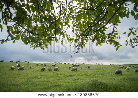 Color image of some sheep on a hill grazing.