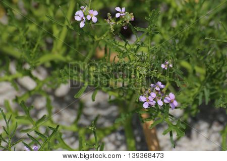 Cakile Maritima, The European Searocket, With Blossoms