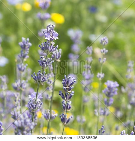 Lavender flowers in a field. Herbs. Close-up. Summer.