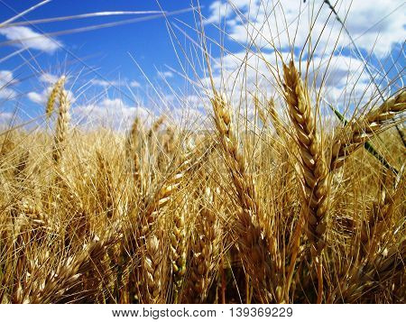 Beautiful landscape with a field of golden ripe wheat and blue sky
