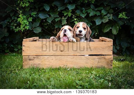 two beagle puppies outdoor in a box