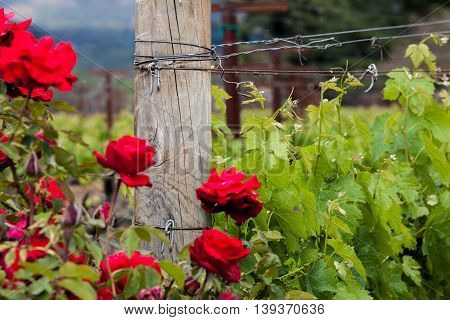 Red roses and wood post with vines in California vineyard. New grape buds in spring growing with roses in Napa Valley vineyard. Trellising and wooden post.