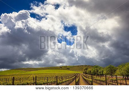 Rows of green vineyard with puffy white clouds in blue sky. Lush green grapevines in Napa Valley California in spring. Big blue sky with large white clouds before a storm.