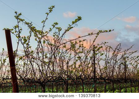 New green buds at California vineyard at sunset in spring. Bud break in Napa wine country with cotton candy clouds in a blue sky.