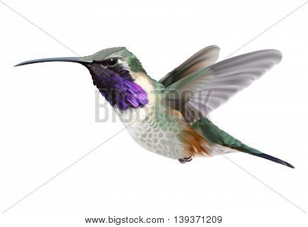 Flying Lucifer Hummingbird - Calothorax lucifer. Hand drawn vector illustration of a hovering male Lucifer hummingbird with iridescent magenta-purple throat patch on transparent background. Flying Lucifer Hummingbird - Calothorax lucifer. Hand drawn vecto