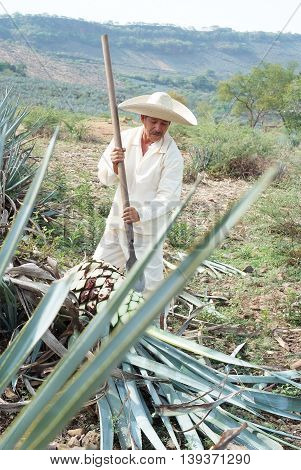 Tipical Jimador man working the field of agave industry in Tequila jalisco Mexico.
