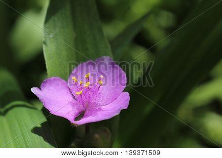 Tradescantia Andersoniana, A Spiderwort Species With Violet Blossom