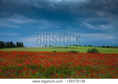 Before the storm. A field of red poppies growing.