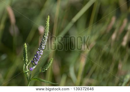 Veronica Longifolia, Known As Garden Speedwell, With Blossoms