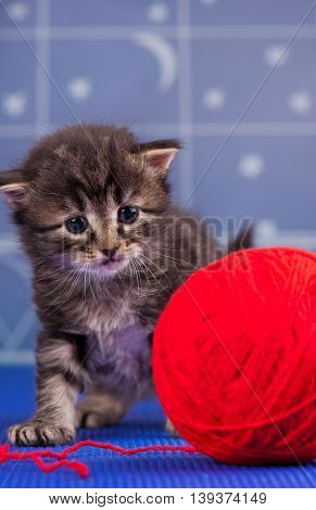 Cute siberian kitten with bright red yarn ball over light-blue background