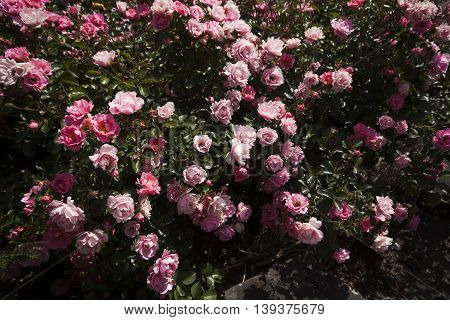 a shrub full of blossoming pink roses