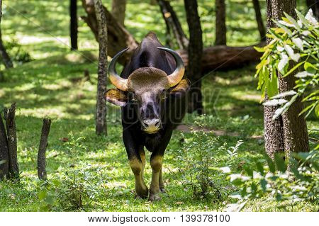 The Gaur or the Indian Bison on the move at the sandalwood forest in Marayoor near Munnar, Kerala, India