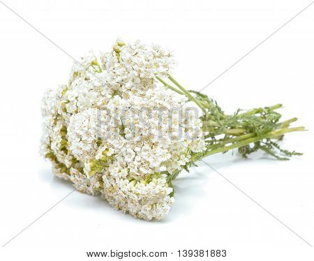 yarrow flowers isolated on white background in studio